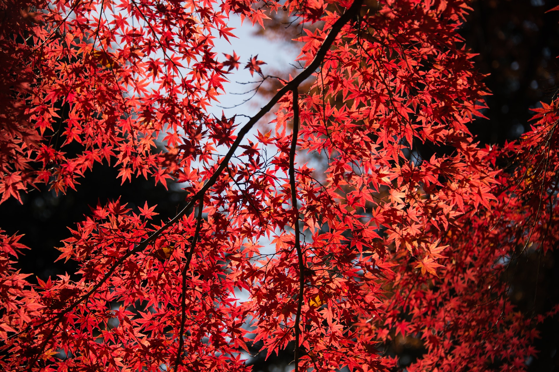 red leaf tree 715134 - Forside